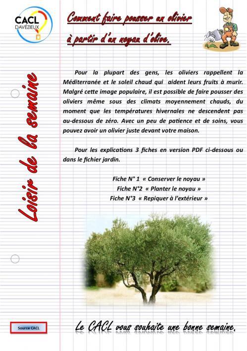 Un olivier a partir d un noyau d olive